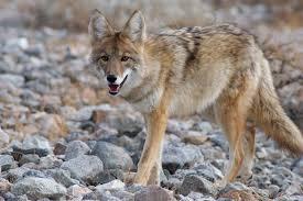 coyote.jpeg